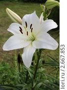 Купить «Белая садовая лилия», фото № 2667853, снято 17 июля 2011 г. (c) Юлия Козинец / Фотобанк Лори