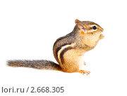 Купить «Восточноамериканский бурундук (Tamias striatus)  на белом фоне», фото № 2668305, снято 19 июля 2011 г. (c) Ирина Кожемякина / Фотобанк Лори