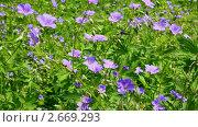 Купить «Сиреневые цветочки», видеоролик № 2669293, снято 20 июня 2011 г. (c) Михаил Коханчиков / Фотобанк Лори