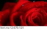 Купить «Красная роза», видеоролик № 2670121, снято 14 марта 2011 г. (c) Михаил Коханчиков / Фотобанк Лори