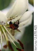 Шмель сидящий на цветке лилии. Стоковое фото, фотограф Ольга Зенухина / Фотобанк Лори