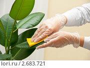 Купить «Очистка листьев фикуса», фото № 2683721, снято 17 июля 2018 г. (c) Jan Jack Russo Media / Фотобанк Лори