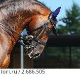 Купить «Конные соревнования по выездке - портрет темно-гнедой лошади», фото № 2686505, снято 1 июля 2011 г. (c) Абрамова Ксения / Фотобанк Лори