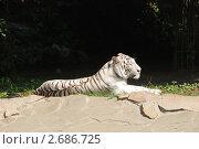 Купить «Белый тигр», фото № 2686725, снято 19 июля 2011 г. (c) Иванова Анастасия / Фотобанк Лори