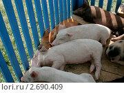 Свиньи. Стоковое фото, фотограф Сергей Рагулин / Фотобанк Лори