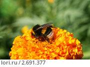 Шмель на ярком оранжевом цветке тагетеса. Стоковое фото, фотограф Щеголева Ольга / Фотобанк Лори
