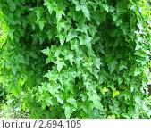 Живая изгородь. Стоковое фото, фотограф Кашкарева Светлана / Фотобанк Лори