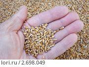 Купить «Зерно на ладони хлебороба», фото № 2698049, снято 4 августа 2011 г. (c) Александр Романов / Фотобанк Лори