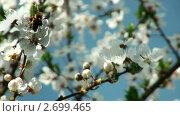 Купить «Пчела опыляет цветы вишневого дерева», видеоролик № 2699465, снято 19 ноября 2017 г. (c) Андрей Зык / Фотобанк Лори