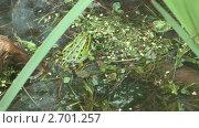 Купить «Зеленая лягушка в пруду», видеоролик № 2701257, снято 25 июля 2011 г. (c) Андрей Некрасов / Фотобанк Лори
