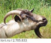 Купить «Портрет домашней козы», эксклюзивное фото № 2705833, снято 6 августа 2011 г. (c) Лысенко Владимир / Фотобанк Лори