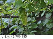 Выращивание огурцов. Стоковое фото, фотограф Дарина Бабий / Фотобанк Лори
