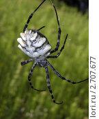 Паук Аргиопа дольчатая (Argiope lobata) на зеленом фоне. Стоковое фото, фотограф Жданова Дарья Юрьевна / Фотобанк Лори