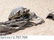 Черепаха. Стоковое фото, фотограф Алена Романова / Фотобанк Лори