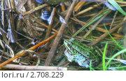 Зеленая лягушка. Стоковое видео, видеограф Алексас Кведорас / Фотобанк Лори