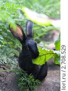 Черный кролик поедает лист свеклы с грядки. Стоковое фото, фотограф Михеев Павел / Фотобанк Лори