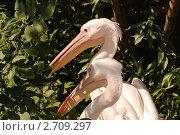 Купить «Розовый пеликан (Pelecanus onocrotalus)», фото № 2709297, снято 12 июля 2011 г. (c) Алёшина Оксана / Фотобанк Лори