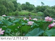 Купить «Цветы лотоса Комарова», эксклюзивное фото № 2711213, снято 1 августа 2011 г. (c) syngach / Фотобанк Лори