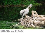 Купить «Кудрявый пеликан (Pelecanus crispus) чистит перья», эксклюзивное фото № 2711505, снято 12 июля 2011 г. (c) Алёшина Оксана / Фотобанк Лори