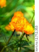 Купить «Купальница азиатская. Trollius asiaticus», эксклюзивное фото № 2712353, снято 28 мая 2011 г. (c) Татьяна Белова / Фотобанк Лори