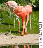 Купить «Фламинго (Phoenicopterus) с опущенными головами», фото № 2717281, снято 12 июля 2011 г. (c) Алёшина Оксана / Фотобанк Лори