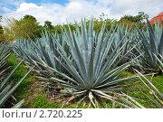 Купить «Агава (Agave americana) .Мексика», фото № 2720225, снято 3 февраля 2010 г. (c) Куликов Константин / Фотобанк Лори