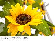 Купить «Подсолнух на дачном участке», фото № 2723305, снято 14 августа 2011 г. (c) Ольга Аристова / Фотобанк Лори