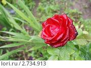 Алая роза. Стоковое фото, фотограф Марина Барышникова / Фотобанк Лори