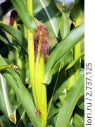 Купить «Кукуруза со спелым початком на грядке», фото № 2737125, снято 17 июля 2011 г. (c) Володина Ольга / Фотобанк Лори