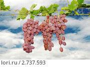 Гроздь зелёного винограда. Стоковое фото, фотограф Сергей Слабенко / Фотобанк Лори