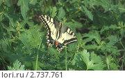 Купить «Бабочка махаон крупным планом на зелени петрушки», видеоролик № 2737761, снято 19 декабря 2010 г. (c) Андрей Некрасов / Фотобанк Лори