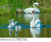 Купить «Семья лебедей-шипунов (Cygnus olor)», фото № 2738733, снято 14 октября 2019 г. (c) Анна Кравчук / Фотобанк Лори