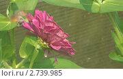 Купить «Бражник собирает нектар с цветка», видеоролик № 2739985, снято 19 декабря 2010 г. (c) Андрей Некрасов / Фотобанк Лори