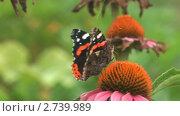 Купить «Бабочка адмирал (Vanessa atalanta) собирает нектар с цветка циннии», видеоролик № 2739989, снято 19 декабря 2010 г. (c) Андрей Некрасов / Фотобанк Лори