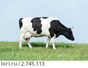 Купить «Корова на лугу», фото № 2745113, снято 16 июня 2019 г. (c) Дмитрий Калиновский / Фотобанк Лори