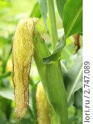 Купить «Кукурузное поле», фото № 2747089, снято 31 июля 2011 г. (c) Лилия / Фотобанк Лори