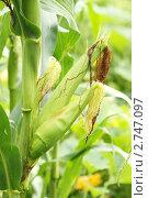 Купить «Кукурузное поле», фото № 2747097, снято 31 июля 2011 г. (c) Лилия / Фотобанк Лори