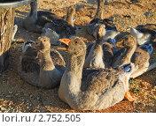 Домашние гуси. Стоковое фото, фотограф Алёшина Оксана / Фотобанк Лори
