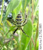 Самка паука кругопряда в паутине. Стоковое фото, фотограф Анастасия Кудряшова / Фотобанк Лори