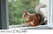 Купить «Белка ест семечки», видеоролик № 2762949, снято 7 декабря 2010 г. (c) Кирилл Трифонов / Фотобанк Лори