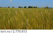 Пшеничное поле. Стоковое видео, видеограф Игорь Тирский / Фотобанк Лори