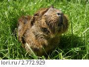 Морская свинка в траве. Стоковое фото, фотограф Алексей Смелков / Фотобанк Лори