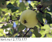 Зеленое яблоко. Стоковое фото, фотограф Дмитрий Жеглов / Фотобанк Лори