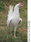 Купить «Курица породы белый леггорн», эксклюзивное фото № 2774233, снято 31 июля 2011 г. (c) Александра Меланич / Фотобанк Лори