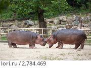 Купить «Два бегемота в зоопарке претендуют на один кусочек сена», фото № 2784469, снято 25 августа 2011 г. (c) Ольга Липунова / Фотобанк Лори