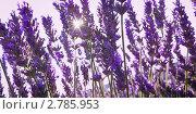 Цветущая лаванда. Стоковое фото, фотограф Архипова Мария / Фотобанк Лори