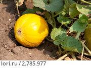 Купить «Дыня на бахче», фото № 2785977, снято 8 августа 2010 г. (c) Максим Лоскутников / Фотобанк Лори