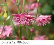 Аквилегия сорт розовая барлоу. Стоковое фото, фотограф Анжелика Гальченко / Фотобанк Лори