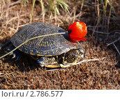 Черепаха с цветком. Стоковое фото, фотограф Анжелика Гальченко / Фотобанк Лори