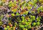 Водяника (шикша) в солнечный день, макро, фото № 2788777, снято 16 августа 2011 г. (c) Евгений Ткачёв / Фотобанк Лори